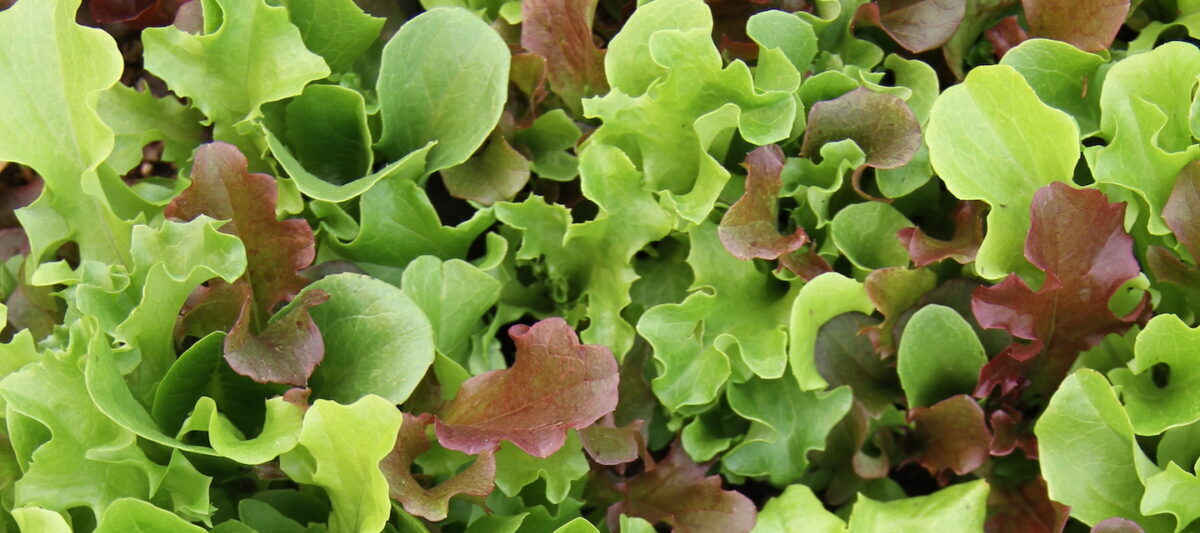 A Close of of vibrant green and red baby lettuce growing.