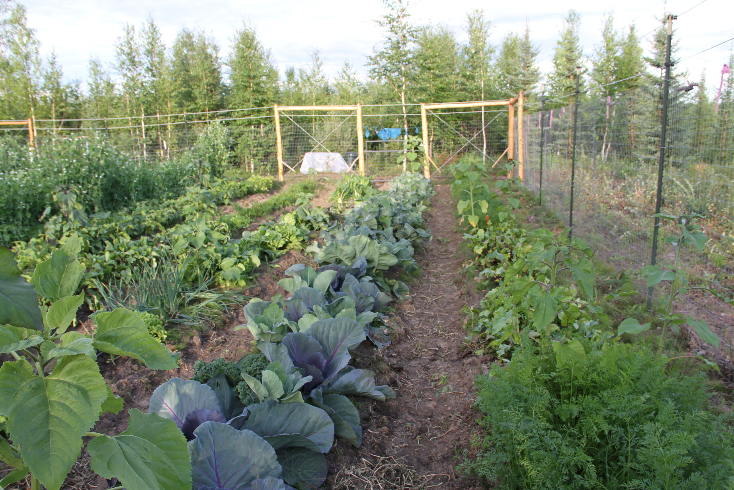Four rows of mixed vegetables including cabbage, leeks, and carrots inside of Heidi's fenced garden area.