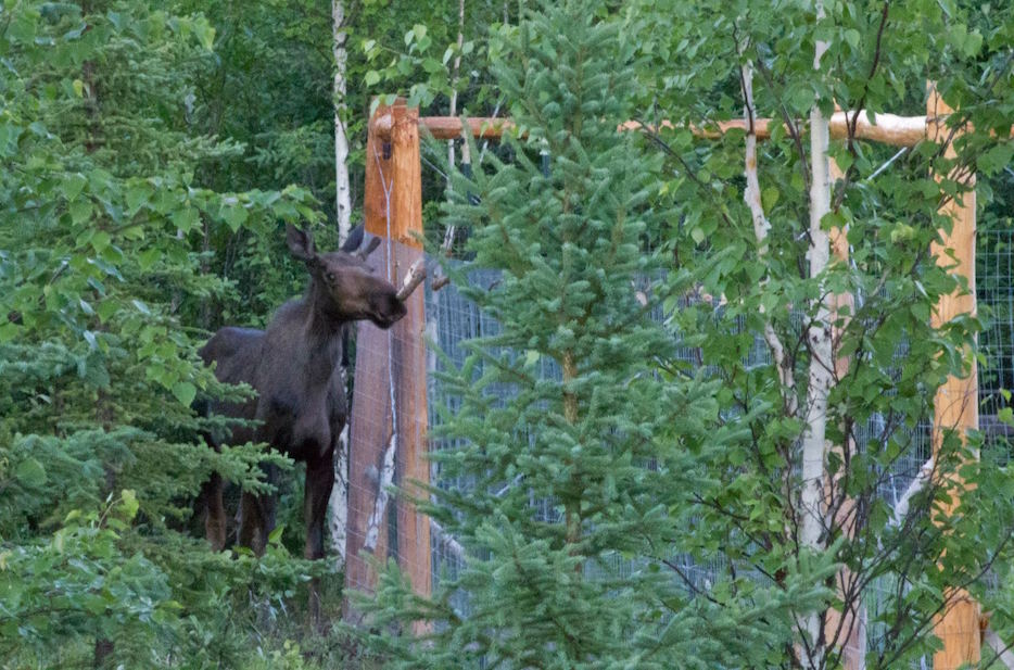 A young bull moose stands just outside Heidi's 8 foot tall garden fence