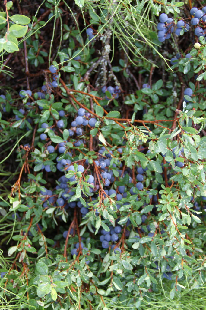 A bush of wild Alaska blueberries.