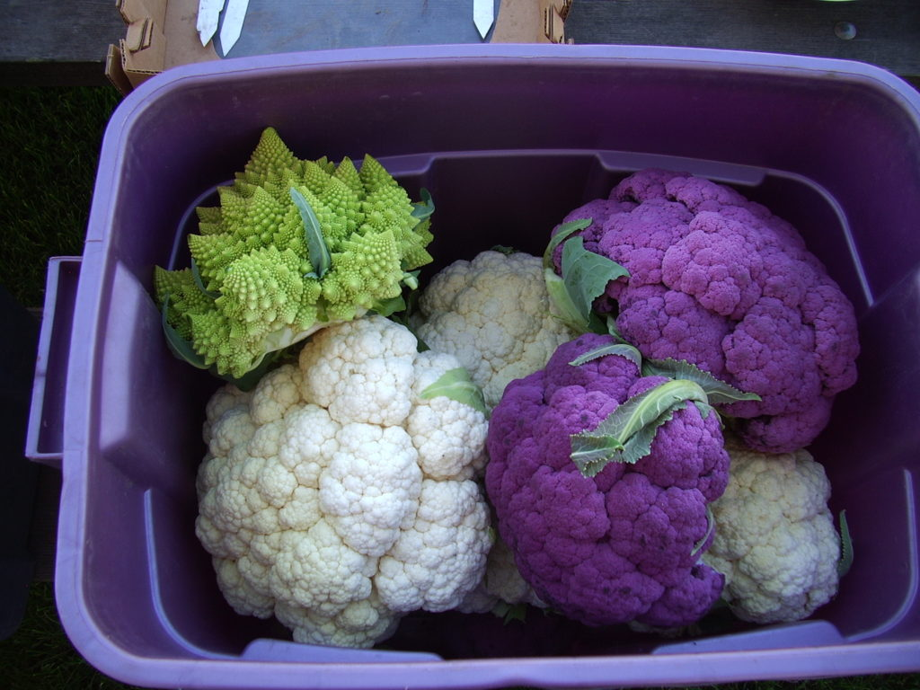 Tote of multiple varieties of cauliflower.