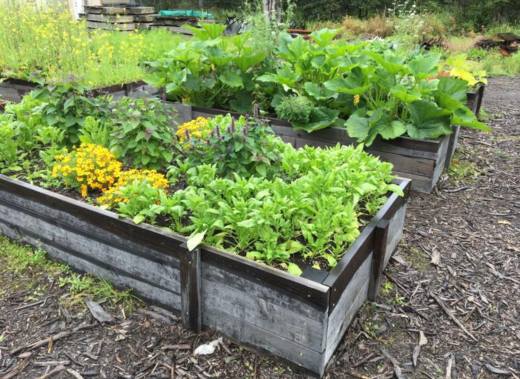 Raised garden beds with bright green vegetables growing in them.