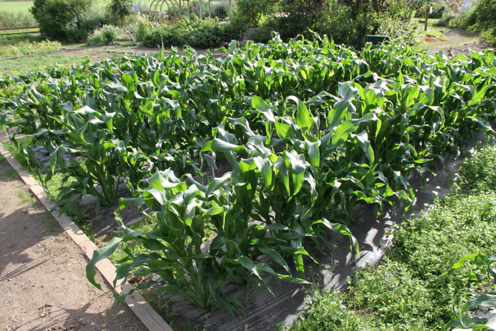 Three foot high corn plants grow in narrow rows in a 20 by 20 foot plot.