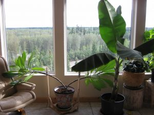 Large indoor plants, including a banana tree, infront of a large south-facing window.