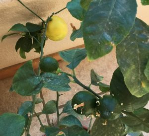 Ripe and unripe lemons on an indoor-grown lemon bush.