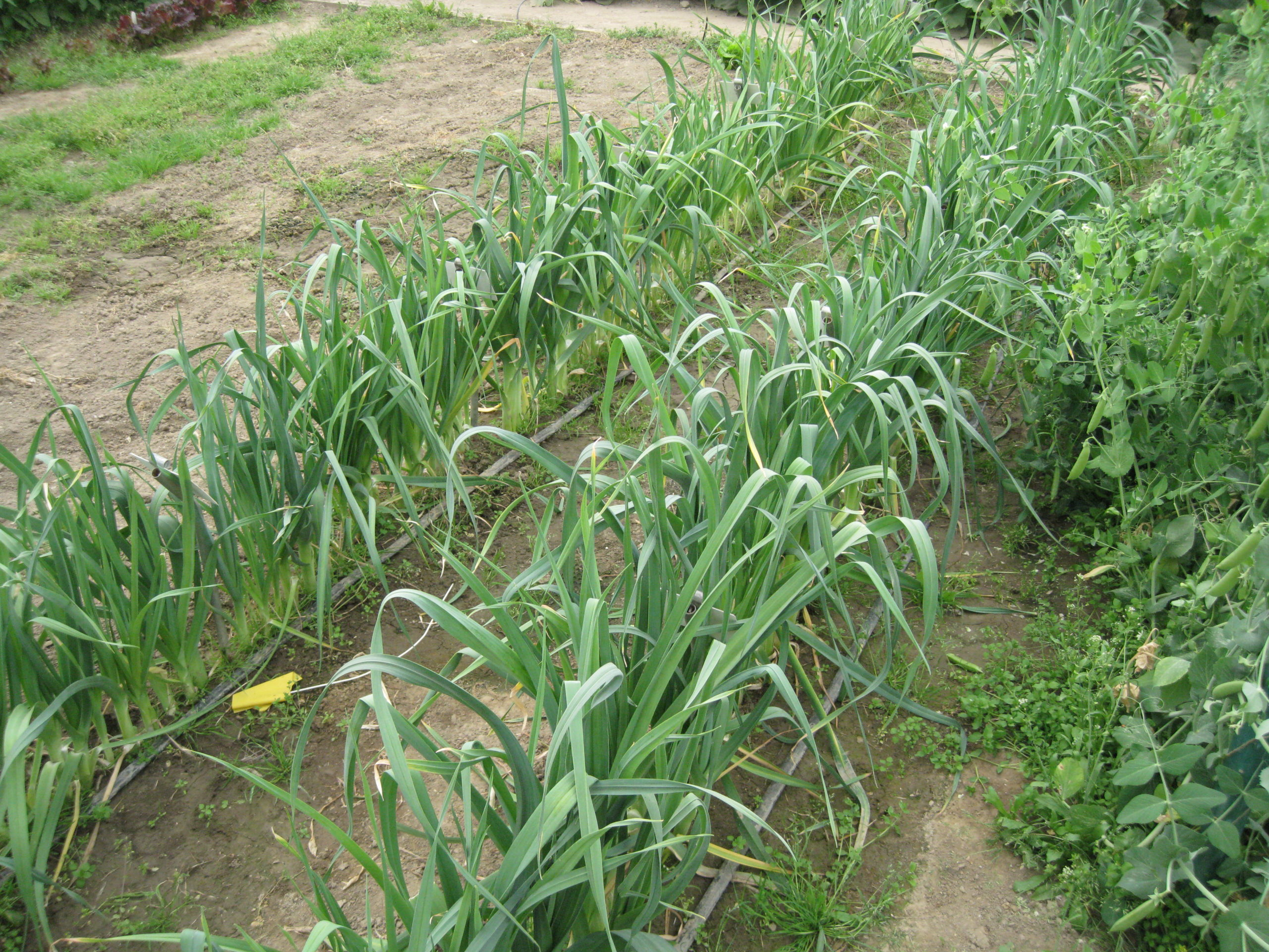 Leeks growing in rows.