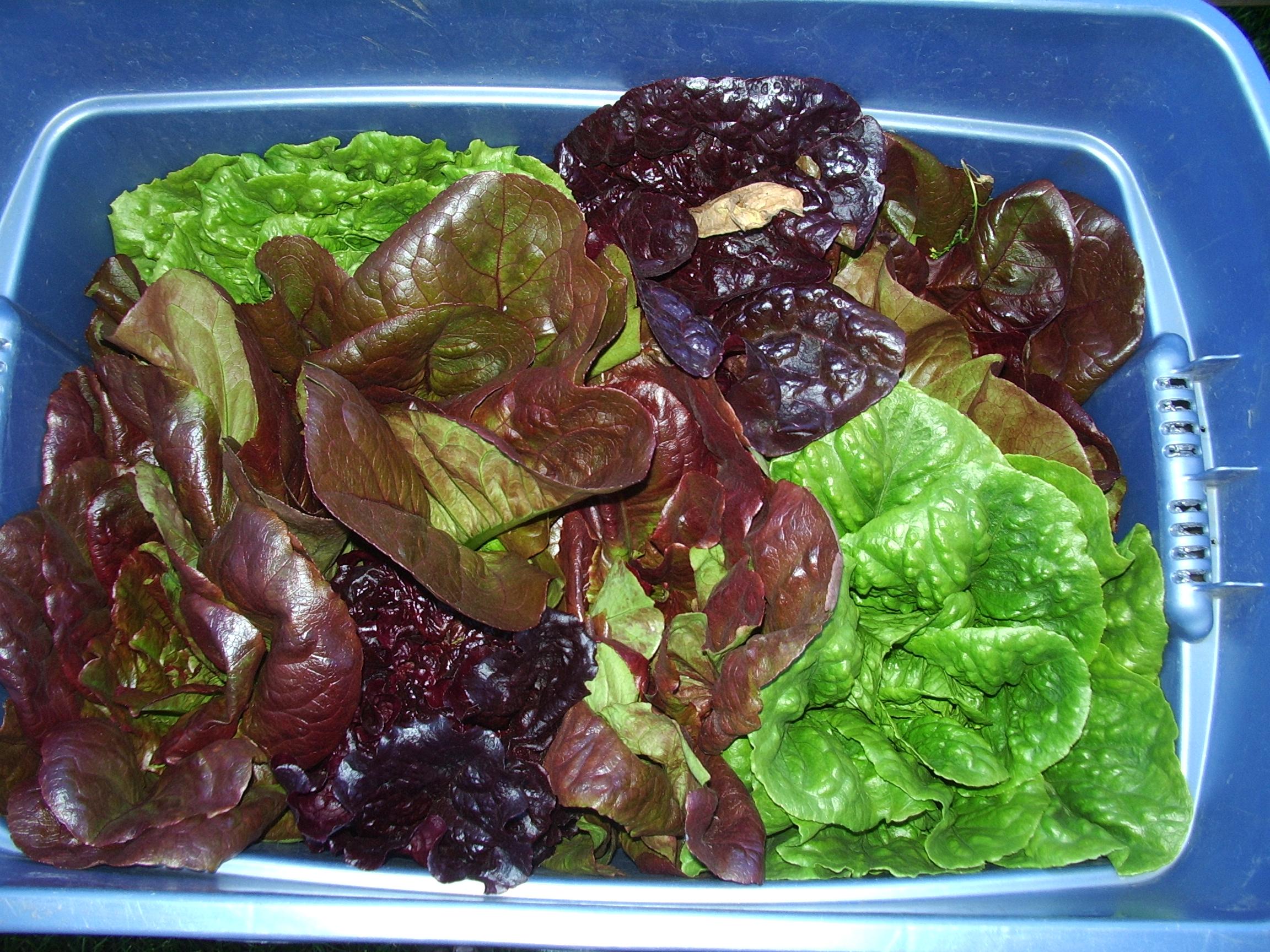 This is fresh lettuce I grew in Fairbanks.