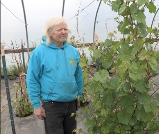 Don McNamara stands next to his healthy looking grape vines inside a high tunnel.