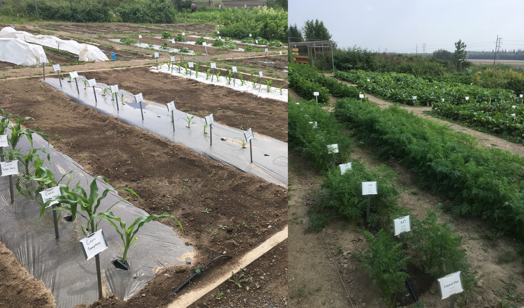 Several rows of corn and vegetable crops at the UAF Agriculture Forestry Experiment Station demonstrating vegetable variety trial research