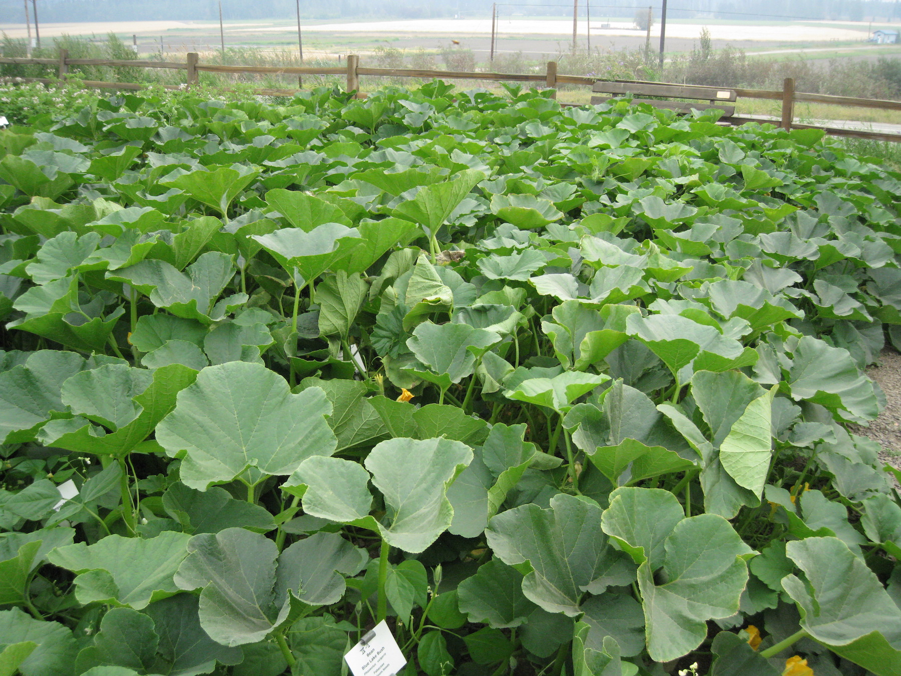 Vibrant green winter squash vines sprawling as they grow.