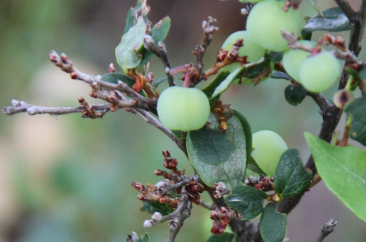 A close up of blueberry bush branches with next year's berry buds.