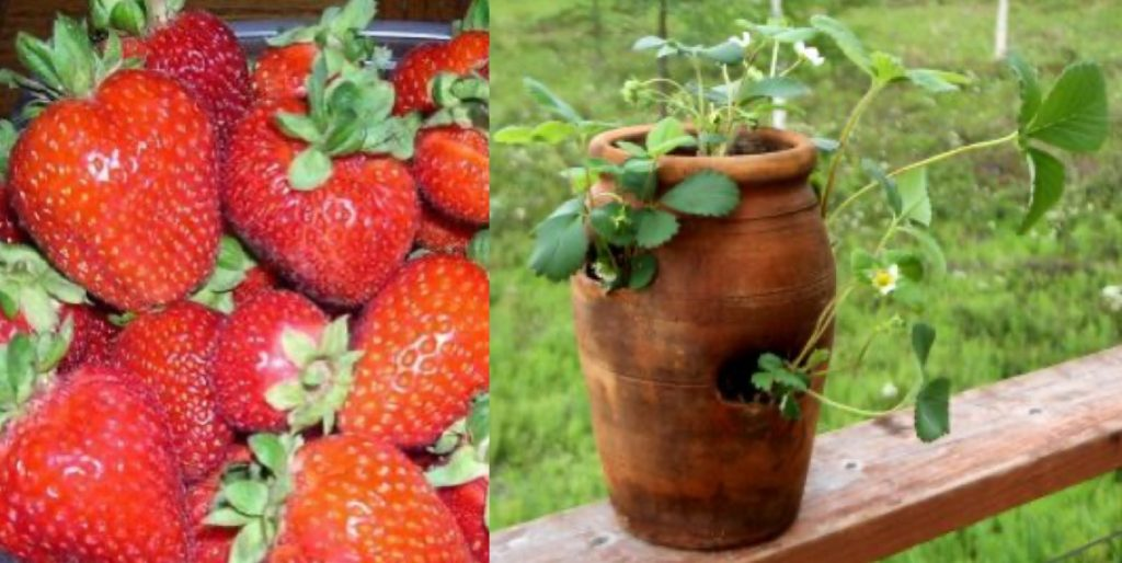 Left, photo of ripe strawberries harvested. Right, photo of strawberry plants with flowers growing in a teracotta pot.