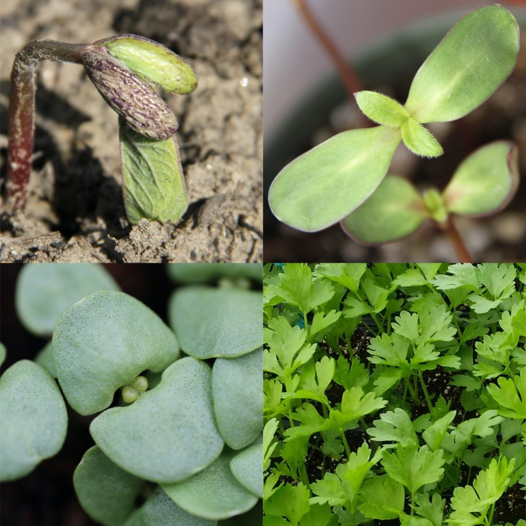 photo collage of bean, sunflower, basil, and celery seedlings