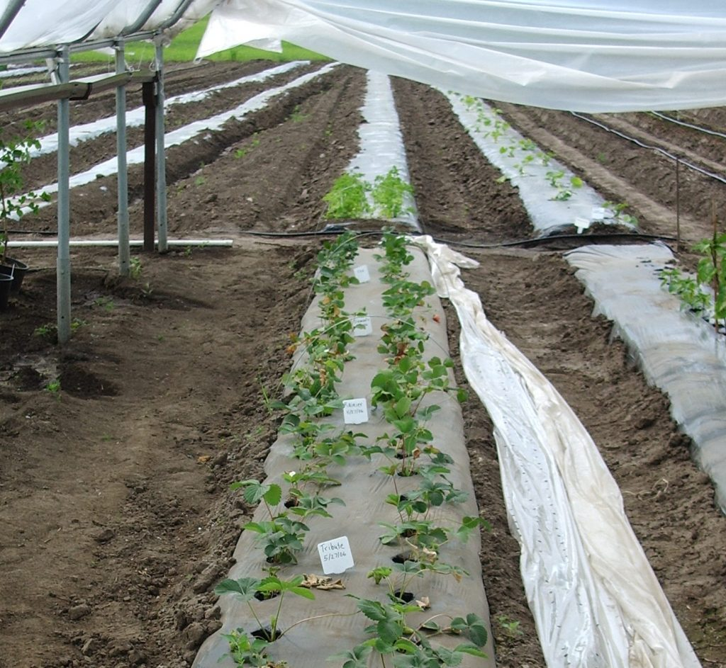 Strawberry plants are shown growing in plastic mulch, inside a high tunnel.