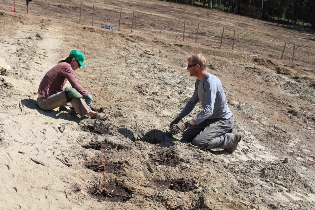 two people planting roots in bare soil