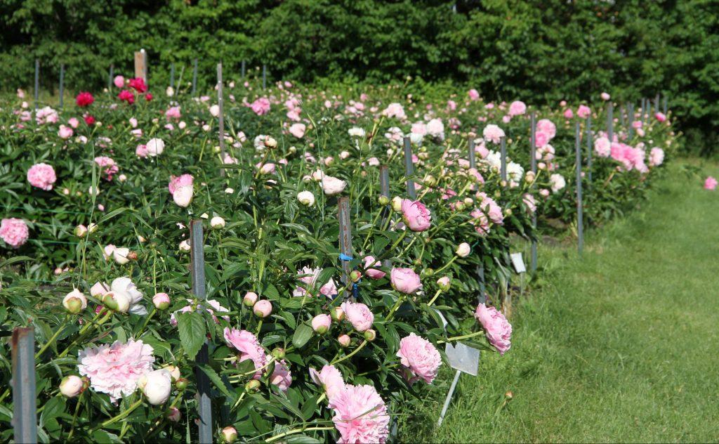 Baby pink peony flowers blooming