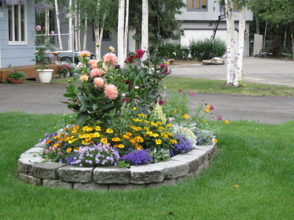 A beautiful and colorful garden bed in Fairbanks that includes Dahlias, marigolds, lobelia to create a dynamic bed with varied height.