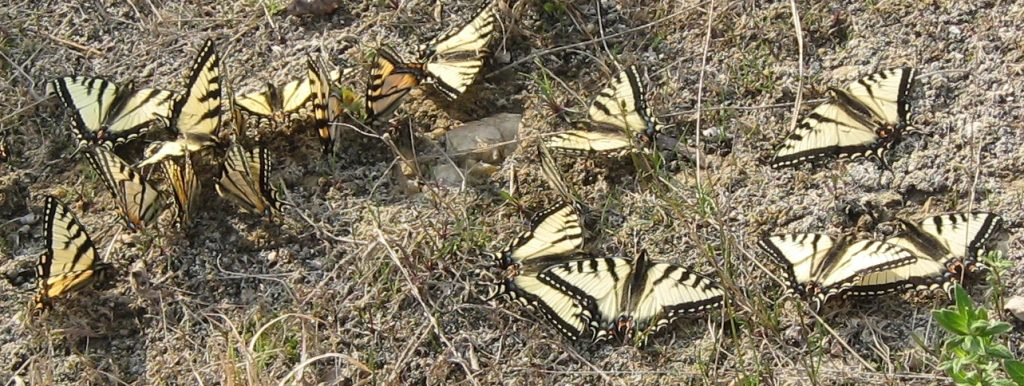 several yellow butterflies on the ground