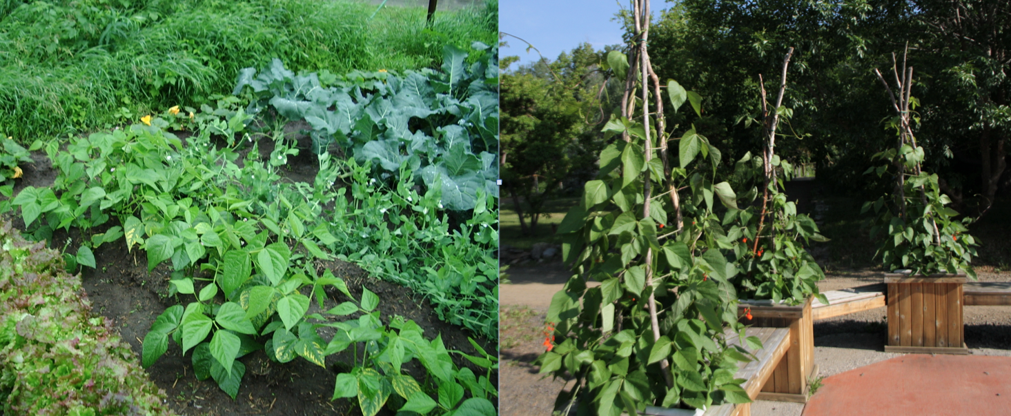 you can grow bush pole runner and fava beans in alaska