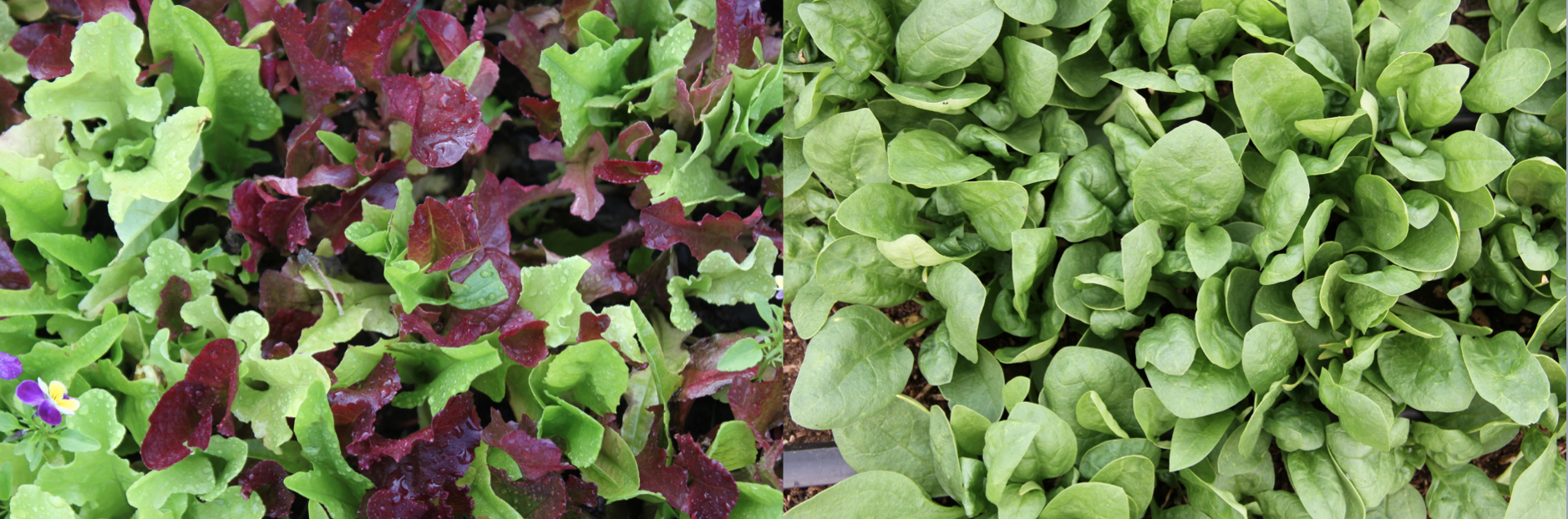 Bring green baby spinach and multi-colored baby lettuce