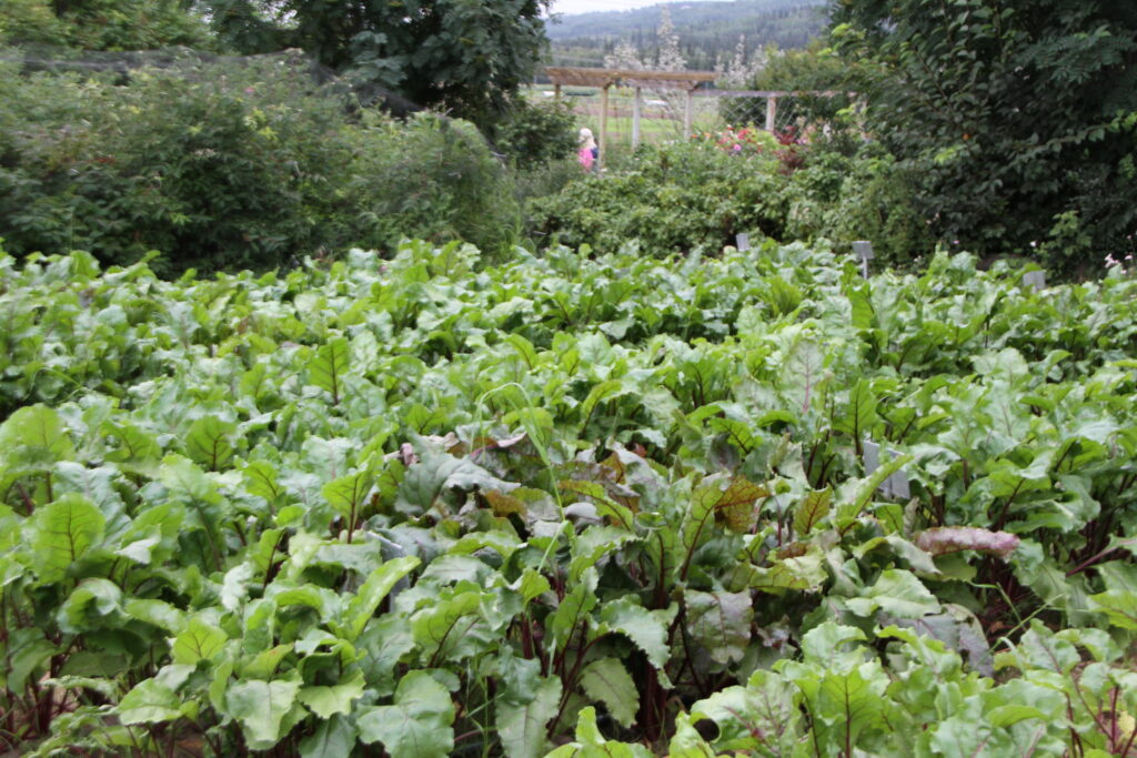 A Plot of beets growing in the AFES vegetable variety trials at UAF