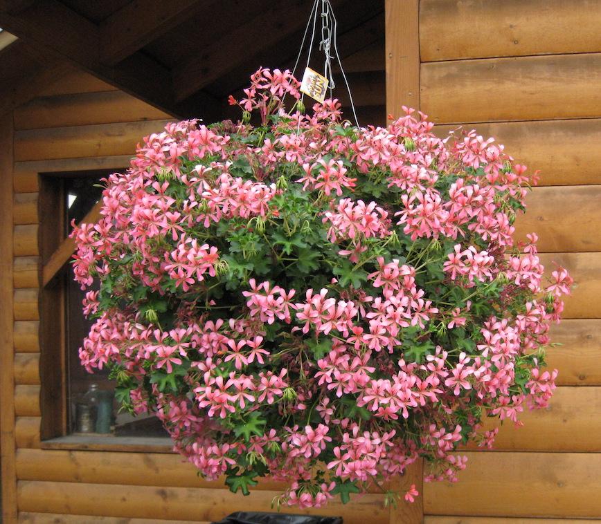 hanging basket filled with pink, ivy leaved geraniums