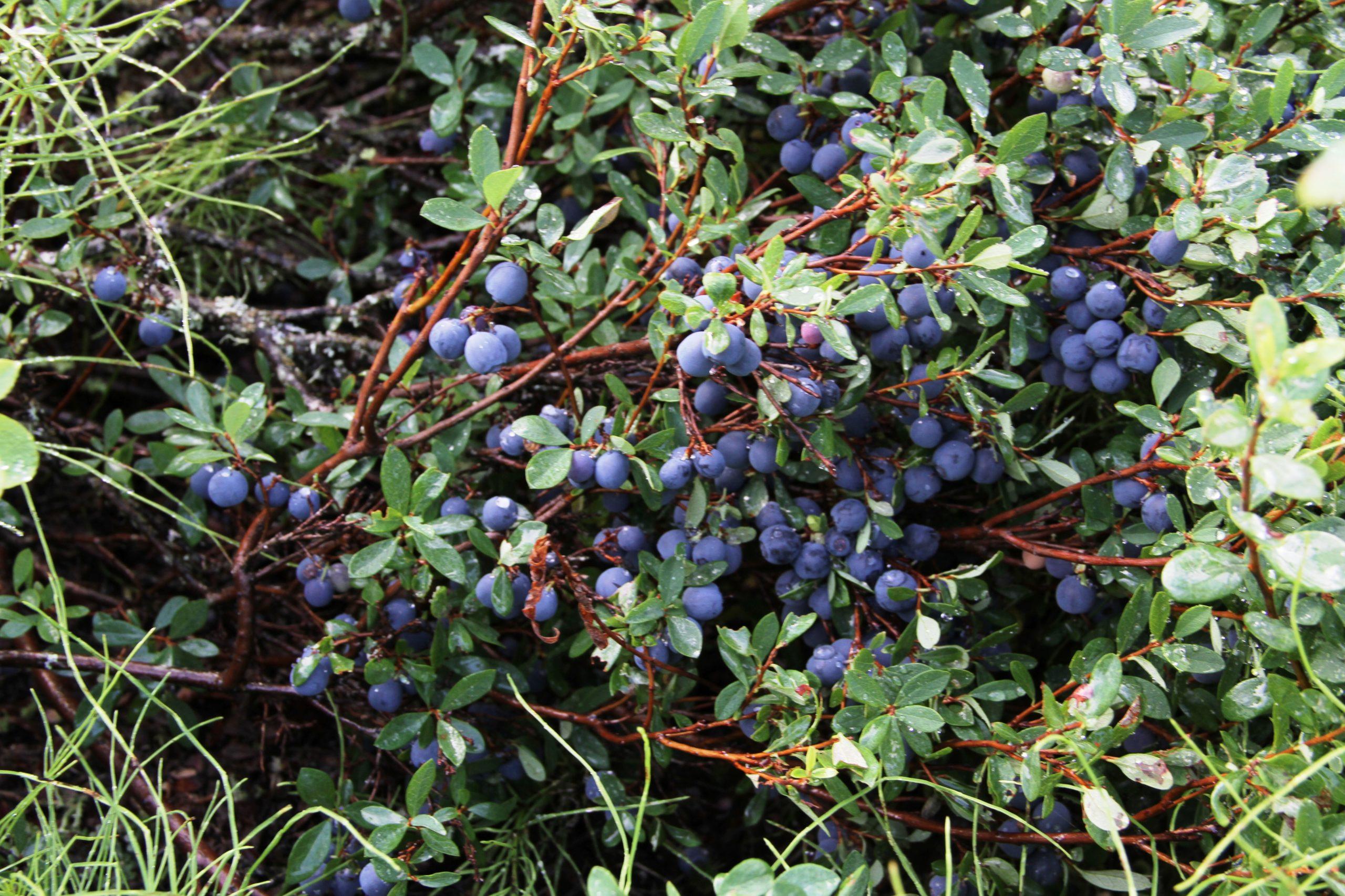 heavily laden blueberry bush