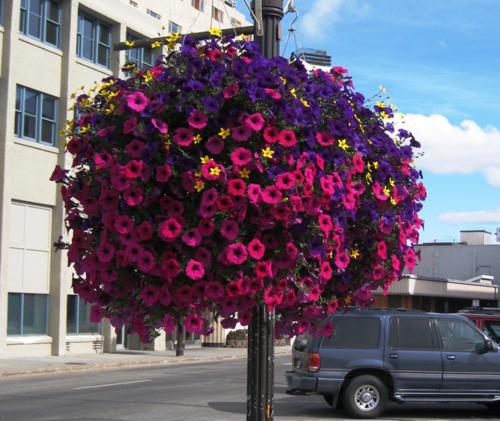 A vibrant hanging basket of purple and pink petunias.