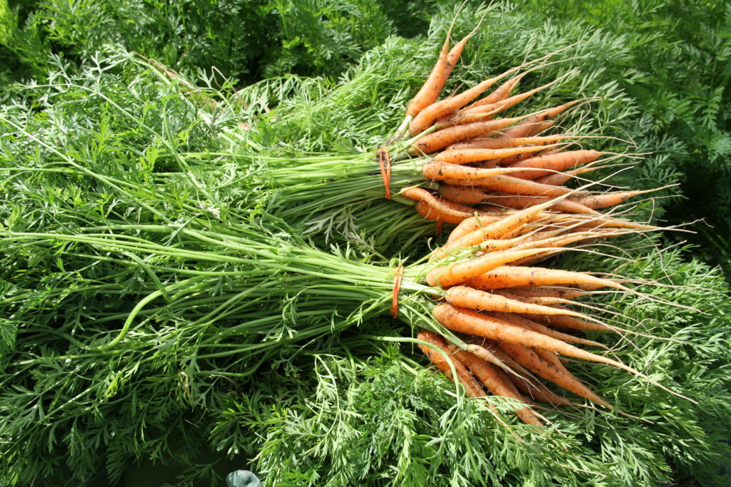 Two bunches of fresh Alaskan carrots