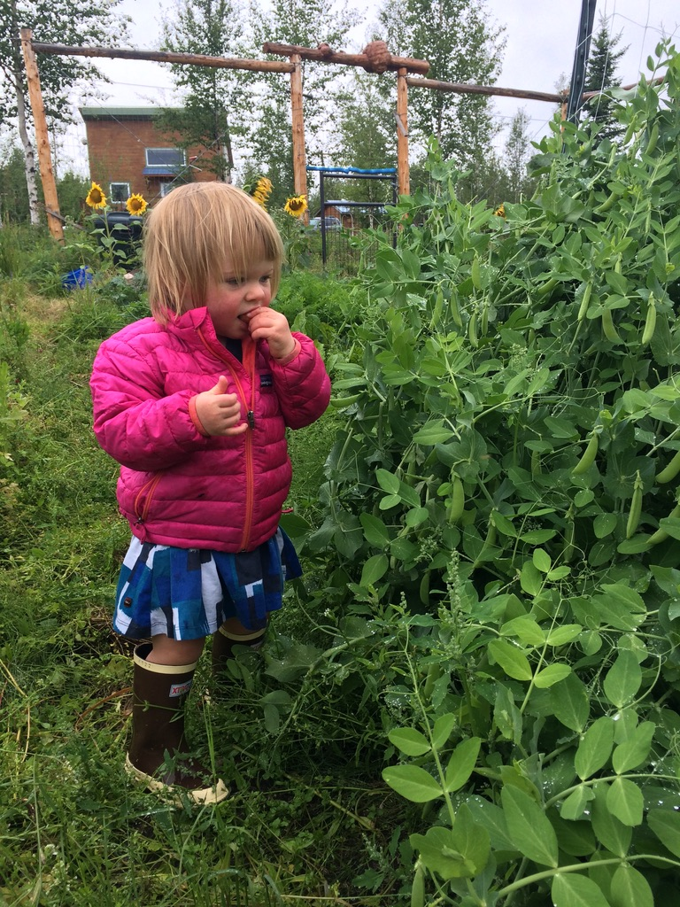 Small girl in a pink coat picking and tasting fresh peas in the garden.