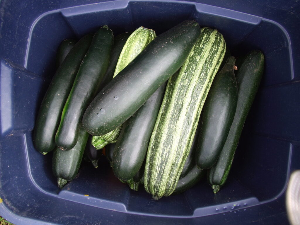 A blue tote full of two kinds of freshly harvested zucchini.