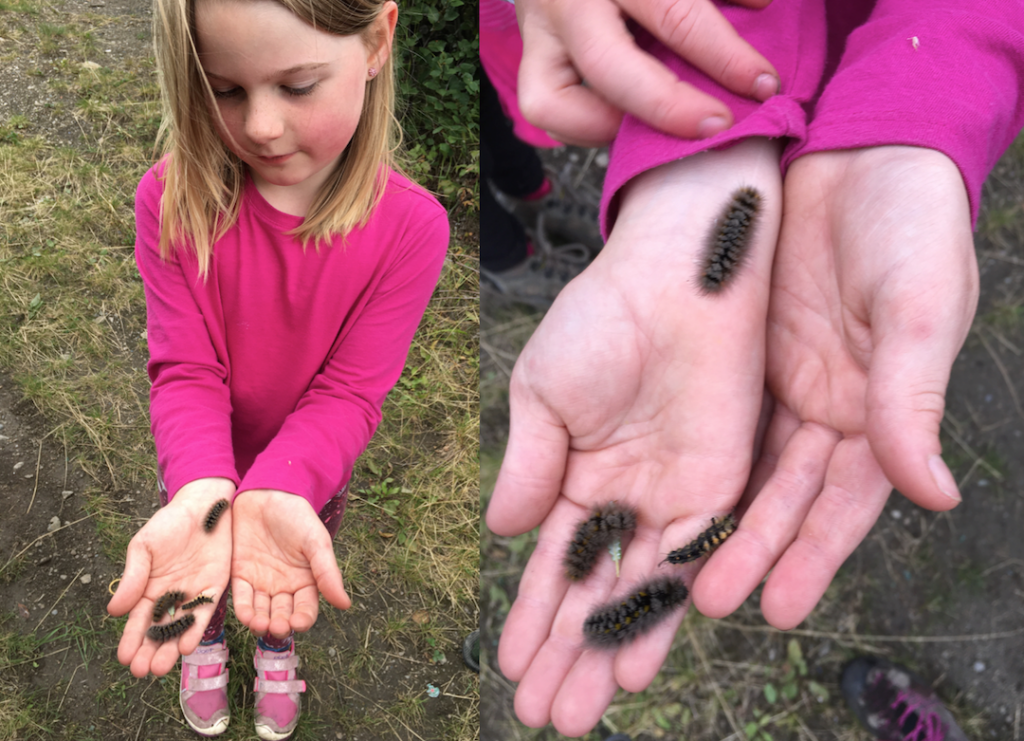 Heidi's daughter is holding rusty tussock moth caterpillars in a bright pink shirt.