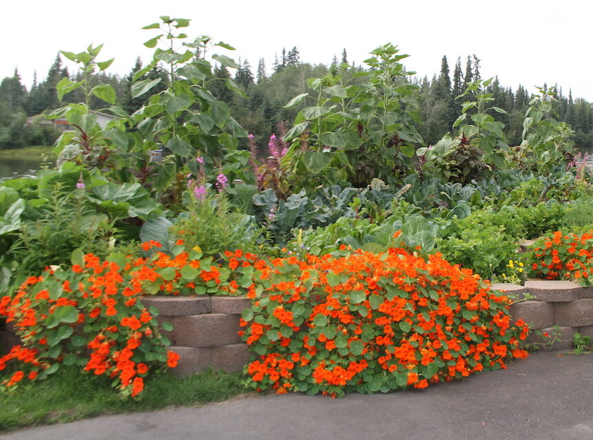 a vibrant garden with orange nasturtiums in front and sunflowers in the back